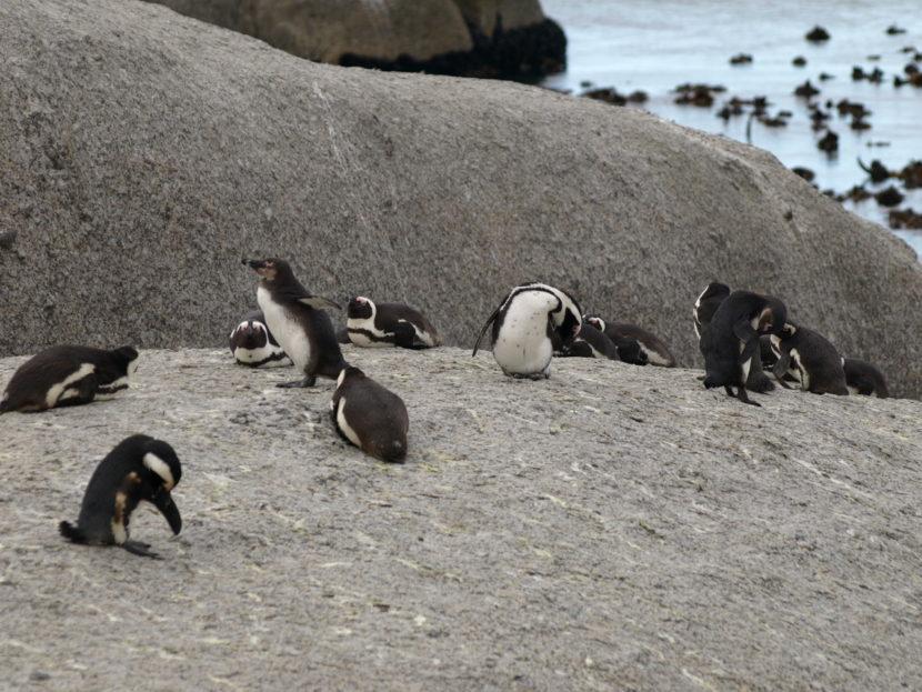 ペンギンに会えるボルダーズビーチ