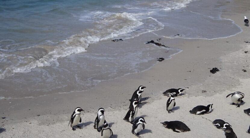 アフリカでペンギンに出会える?!ケープタウン郊外の観光スポット巡り♪| トラベルダイアリー