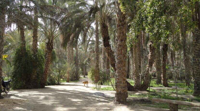 ナツメヤシが実る砂漠のオアシス・トズール観光| トラベルダイアリー