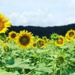 「一度は食べたいカキ氷」と「ひまわり畑」で楽しむ夏~in益子と真岡| トラベルダイアリー