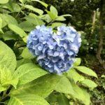 ~鎌倉のあじさい~美しいあじさいが咲き誇る社寺をめぐった一日!| トラベルダイアリー